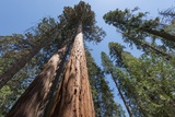 Sequoia Trees at Mariposa Grove, Yosemite Photographic Print by Francois Galland