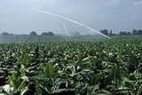 Watering of Tobacco Plantation, Lexington, Kentucky, Usa, August 1984 Photographic Print by Alain Le Garsmeur