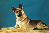 Quizzical German Shepherd Photographic Print by Found Image Press