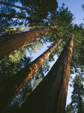 Sequoia Trees Photographic Print by Greg Probst