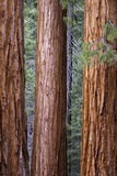 Redwood Trees, Mariposa Grove, Yosemite National Park, CA Photographic Print by Kerrick James