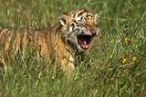 Bengal Tiger Cub Yawning Photographic Print by  DLILLC