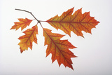Branch of Red Oak Leaves Photographic Print by  DLILLC