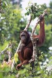 Orangutan Resting on Tree Branch Photographic Print by  DLILLC