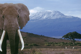Elephant Standing near Mount Kilimanjaro Photographic Print by  DLILLC