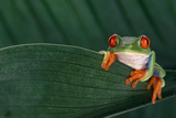 Red-Eyed Tree Frog on Leaf Photographic Print by  DLILLC
