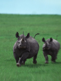 Mother and Baby Rhinoceroses Running Photographic Print by  DLILLC