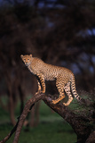 Cheetah Perched on Tree Limb Photographic Print by  DLILLC