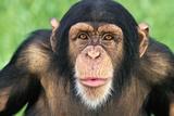 Chimpanzee Looking Photographic Print by  DLILLC