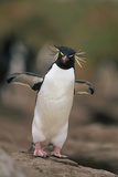 Rockhopper Penguin Perched on Rock Reproduction photographique par  DLILLC