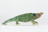 Jackson's Chameleon Photographic Print by  DLILLC