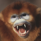 Golden Monkey Snarling Photographic Print by  DLILLC