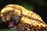 Leopard Snarling Intensely Photographic Print by  DLILLC