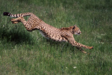 Running Cheetah Fotografisk tryk af  DLILLC