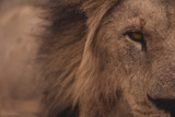 Male Lion Staring Straight Ahead Photographic Print by  DLILLC