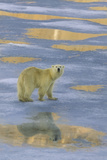 Polar Bear Walking on Ice Photographic Print by  DLILLC