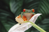 Red-Eyed Tree Frog Perched on Flower Photographic Print by  DLILLC
