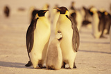 Penguin Family Photographic Print by  DLILLC