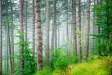 Beautiful Pine Tree Forest, Abstract Natural Background, Misty Woods in the Morning, Amazing Nature Photographic Print by Anna Omelchenko