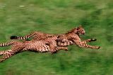 Running Cheetahs Photographic Print by  DLILLC