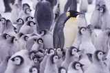 Adult Penguin Overwhelmed with Chicks Photographic Print by  DLILLC