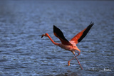 Flamingo Wading through Water Photographic Print by  DLILLC
