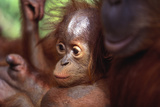 Baby Orangutan with Mother Photographic Print by  DLILLC