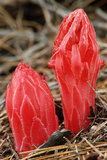 Flower Heads of Snow Plant Photographic Print by Joe McDonald