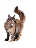 Maine Coon Cat Photographic Print by Fabio Petroni