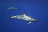 Spinner Dolphins Photographic Print by  DLILLC
