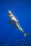 Shark Swimming with School of Fish Photographic Print by  DLILLC
