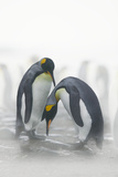Courting King Penguins Photographic Print by  DLILLC