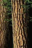 Bark on Pine Trees Photographic Print by Dewitt Jones