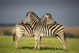 Zebras Allogrooming Photographic Print by Richard Du Toit
