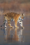 Siberian Tiger Walking on Wet Surface Photographic Print by  DLILLC