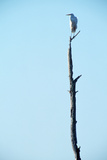 White Egret on Tall Snag Photographic Print by Paul Souders