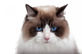 Ragdoll Cat Photographic Print by Fabio Petroni