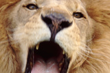 Close-Up of Roaring African Lion Photographic Print by  DLILLC