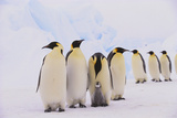 Group of Penguins and Chick Photographic Print by  DLILLC