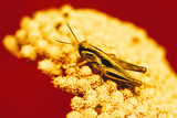 Grasshopper on Yarrow Plant Photographic Print by  DLILLC