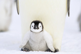 Chick underneath Adult Emperor Penguin Photographic Print by  DLILLC