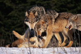 Gray Wolf Pack Photographic Print by  DLILLC