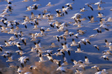 Flock of Snow Geese in Flight Photographic Print by  DLILLC