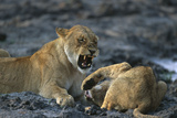 Lions Playing Photographic Print by  DLILLC