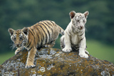 Bengal Tiger Cubs Perched on Rock Reproduction photographique par  DLILLC
