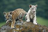 Bengal Tiger Cubs Perched on Rock Fotografie-Druck von  DLILLC