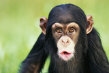 Young Chimpanzee Puckering Photographic Print by  DLILLC