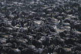 Zebra among Wildebeest Herd Photographic Print by  DLILLC