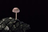 Mycena Seynesii (Bonnet) - on Pine Cone Photographic Print by Paul Starosta