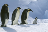 Adult Penguins following Chick Photographic Print by  DLILLC